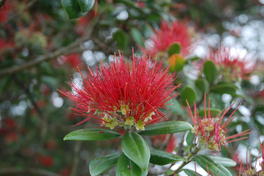 Die Blüten dieses Baumes sind den Neuseeländern Weihnachtssymbol, da er nur dann blüht.