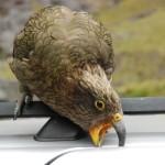 Ein Kea interessiert sich für meine Türdichtung.